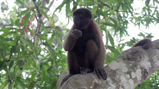 woolly monkey, amazon, peru - south america stock videos & royalty-free footage