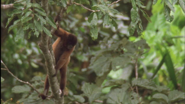 woolly monkey leaps from tree to tree available in hd. - rainforest stock videos & royalty-free footage