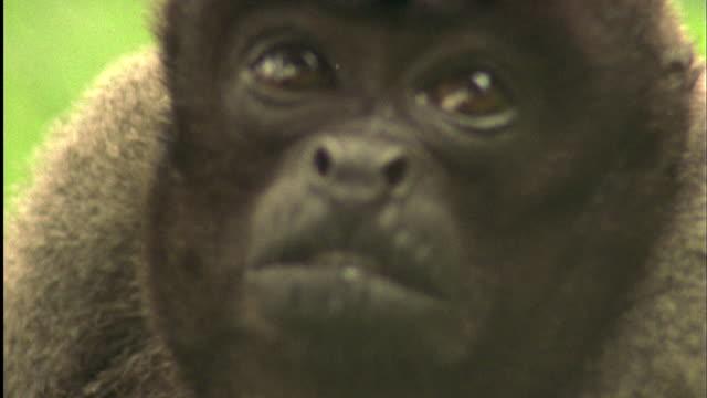 woolly monkey looking up available in hd. - south america stock videos & royalty-free footage