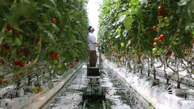 worker attends to tomatoes at a brightfarms, inc. greenhouse in rochelle, illinois, u.s., on friday, may 12, 2017. shots: wide shot of corridor with... - illinois stock videos & royalty-free footage