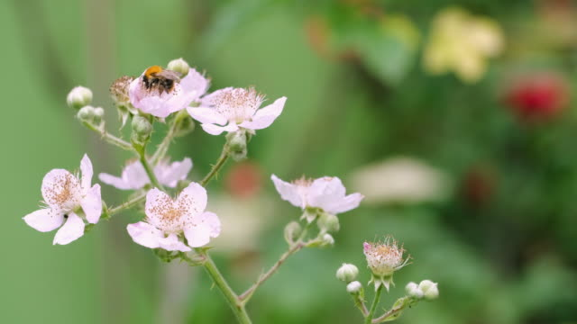 a worker bee flying and collecting pollen from the blackberry blossoms in the nature - blossom stock videos & royalty-free footage