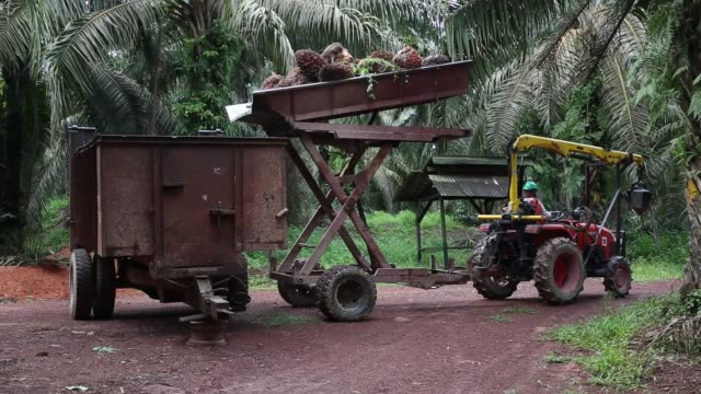 a worker center observes a colleague operating a trailer loaded with palm oil fruit bunches at the bukit senorang palm oil plantation owned by united... - plantation stock videos & royalty-free footage