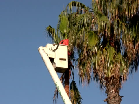 Worker Chain Saws Palm Tree Fronds / Branches