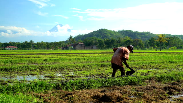 vidéos et rushes de worker digging irrigation trench in rice fields java - cereal plant