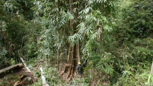 MS Worker felling rainforest tree / Tawau, Sabah, Malaysia