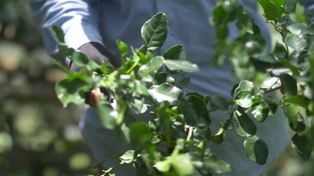 Worker harvesting bergamot fruit.