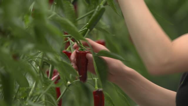 worker harvests chilli crop in greenhouse, uk - chili schote stock-videos und b-roll-filmmaterial