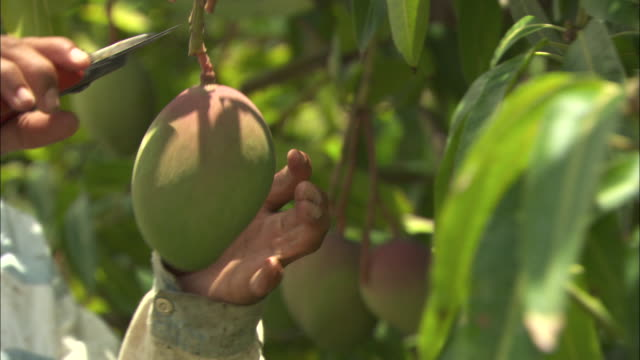 stockvideo's en b-roll-footage met a worker harvests mango from a tree at a fruit farm in juazeiro, brazil.  - boomgaard
