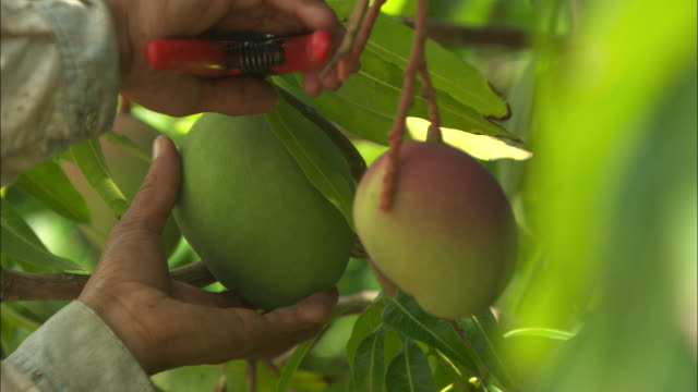 a worker harvests mango from a tree at a fruit farm in juazeiro, brazil.  - mango stock videos and b-roll footage
