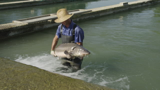 HA worker in fish farm lifting mature sturgeon  (Acipenser naccarii, also known as Adriatic Sturgeon) out of water, RED R3D 4K,4KMSTR