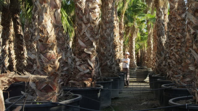 vídeos de stock, filmes e b-roll de ws worker in hard hat entering stand of mature palm trees in outdoor nursery, checking trees and exiting frame - só um adulto de idade mediana