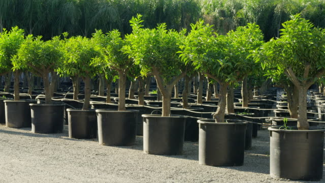 vídeos de stock, filmes e b-roll de ms worker in hard hat walking along row of potted trees in outdoor nursery, checking trees as he walks along - só um adulto de idade mediana