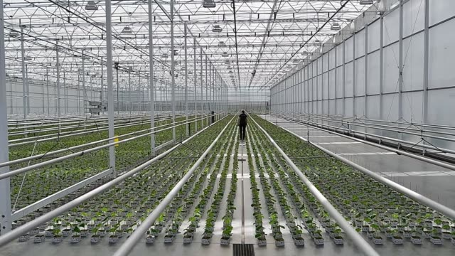 Worker inspects and works with the upkeep of plants in Roelands Plant farm in Lambton Shores Ontario Canada on October 10 2017 Photographer James...