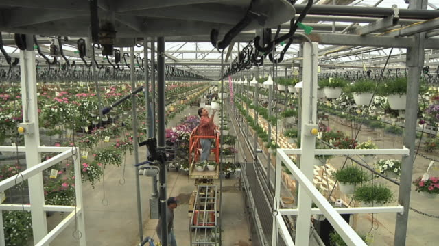 ha ws worker on scissors lift hanging flowering baskets on elevated conveyor belt in commercial greenhouse, carleton, michigan, usa - orticoltura video stock e b–roll