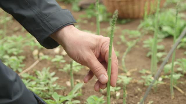 worker picks asparagus in garden - 収穫する点の映像素材/bロール