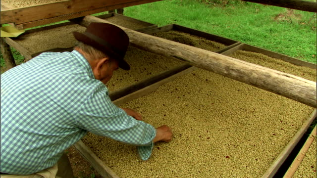 a worker picks through raw coffee beans spread on a drying screen. - trocknen stock-videos und b-roll-filmmaterial