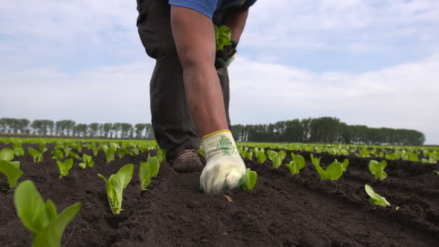 worker plants seedling lettuce plants in field, uk - one mid adult man only stock videos & royalty-free footage