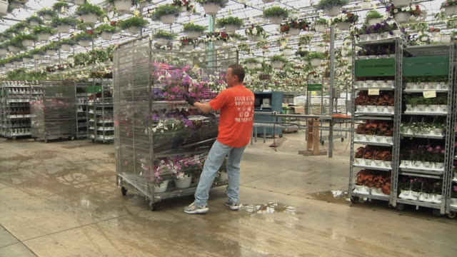 slo mo ws ms worker pulling rack with potted plants at commercial greenhouse, carleton, michigan, usa - orticoltura video stock e b–roll