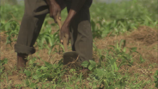 a worker tends to crops in a field in the rift valley.  - farmer stock videos & royalty-free footage