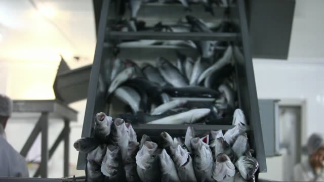a worker unloads fresh sea bass into an ice container inside a packaging facility at a fish farm operated by kimagro fishfarming ltd in limassol... - polystyrene stock videos & royalty-free footage