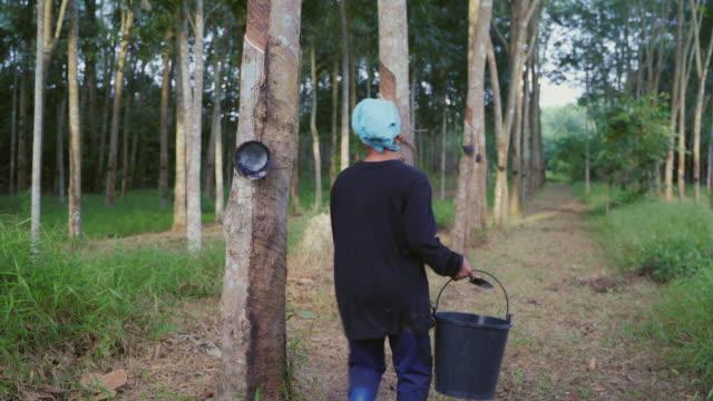 vídeos y material grabado en eventos de stock de mujer trabajadora tocando y manteniendo el látex del árbol de caucho (hevea brasiliensis). - rama parte de planta