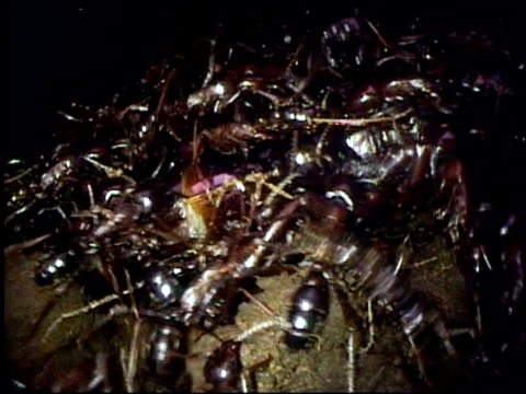 workers and soldier driver swarm over huge queen in bivouac east africa - nest stock-videos und b-roll-filmmaterial