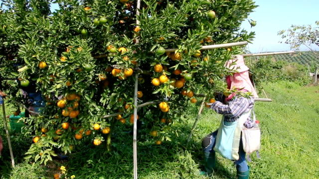workers are harvesting oranges. - citrus fruit stock videos and b-roll footage