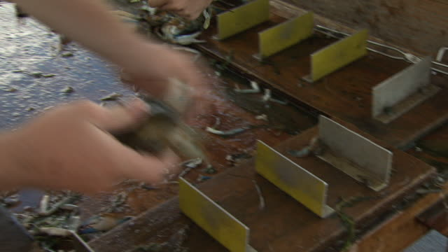 vídeos y material grabado en eventos de stock de workers at a table sort through crabs, tossing crabs into a box - formato buzón