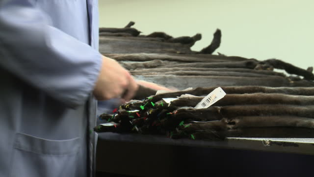 workers at american legend cooperative, one of the top mink fur producers in the world, grade pelts ahead of their first auction of 2015. features... - animal hair stock-videos und b-roll-filmmaterial