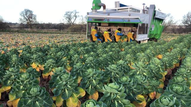 GBR: Dunbar Brussel Sprout Farm Prepares Veg For Christmas