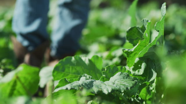 worker's boot walks down a row of kale growing in a farm-to-table organic garden; the person kneels and examines leaves. - farm to table stock videos & royalty-free footage