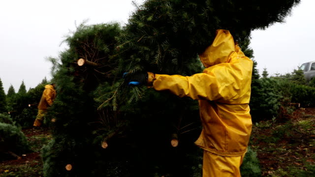 a workers bundles up freshly harvested douglas fir christmas trees that will be lifted by helicopter from a field at the holiday tree farms on... - douglas fir stock videos and b-roll footage