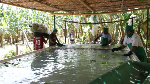 vidéos et rushes de workers carrying a full banana punch from the plantation to the place of production before cutting washing disinfecting and putting them in cases to... - bananier