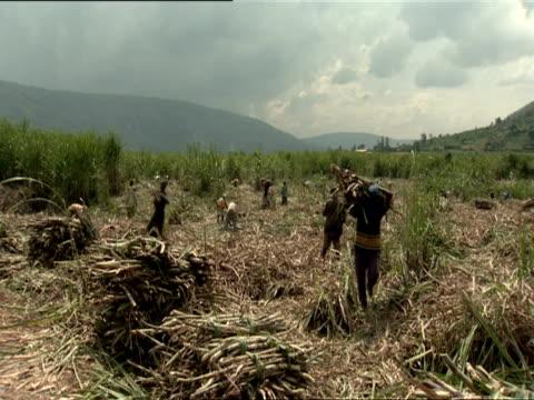ws pan workers carrying bundles of sugar cane from harvested field / kigali, rwanda - フツ族点の映像素材/bロール
