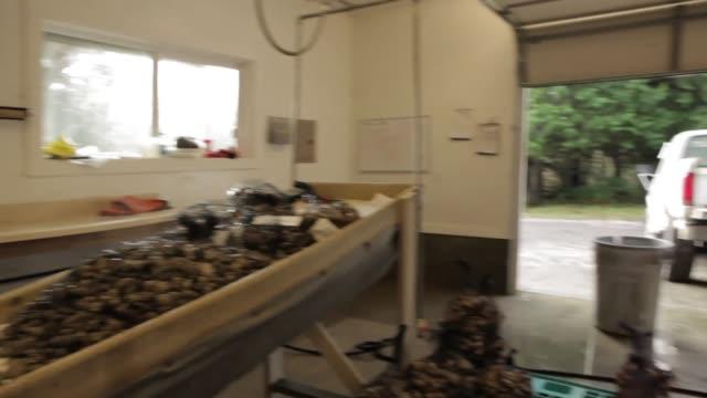 vídeos de stock e filmes b-roll de workers clean and sort through oysters shells during harvest of hatchery oysters - acidificação dos oceanos