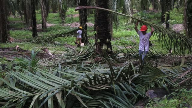 workers collect cut fronds at the bukit senorang palm oil plantation owned by united malacca bhd in pahang malaysia on friday oct 27 palm trees grow... - cut video transition stock videos & royalty-free footage