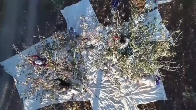 workers collect pistachios from pistachios trees during the harvest season and laying them out to dry under the sun in sanliurfa province of... - pistazie stock-videos und b-roll-filmmaterial