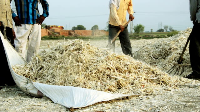 Workers collecting Sugarcane husk
