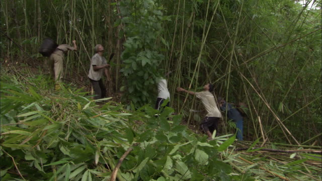 vidéos et rushes de workers cut down tall bamboo plants in a forest. - récolter