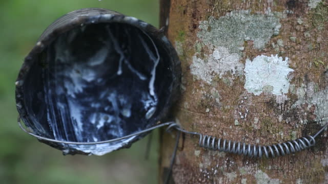 vídeos de stock, filmes e b-roll de workers cut rubber trees and collect rubber latex then process it into latex in nakhon si thammarat, thailand, on thursday, january 31, 2019. - látex borracha
