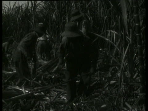 vidéos et rushes de b/w workers cutting sugar cane in field / new orleans / 1910 / no sound - sugar cane
