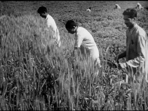 workers farmers harvesting wheat by hand vs cutting stalks manually w/ scythe vs men by wheat field holding several heads of wheat in hand angled ws... - scythe stock videos and b-roll footage