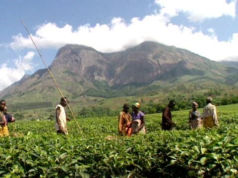 vídeos de stock e filmes b-roll de workers file through a tea plantation malawi 1999 - malávi