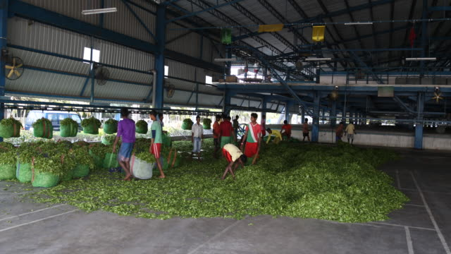 workers filling up internal transport bags with fresh tea leaves. darjeeling tea is a tea from the darjeeling district in west bengal, india. unlike... - var bildbanksvideor och videomaterial från bakom kulisserna