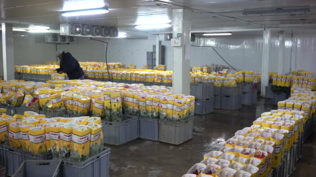 workers from the mystic roses plantation harvest bundle and pack roses for shipment in cayambe ecuador on thursday november 29 2018 - bunch of flowers stock videos & royalty-free footage
