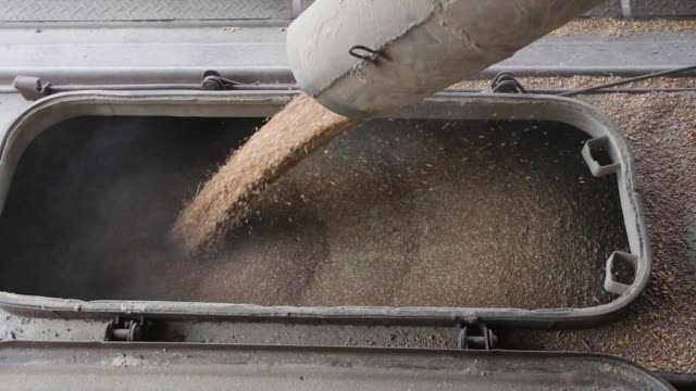 Workers funnel wheat grain into a wagon inside the storage facility during the summer wheat harvest on a farm operated by ASB Management Co in...