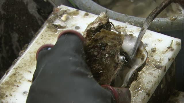 vídeos de stock e filmes b-roll de a worker's gloved hands separate an oyster from its shell at an oyster fishery in higashihiroshima, japan. - amanhar o peixe