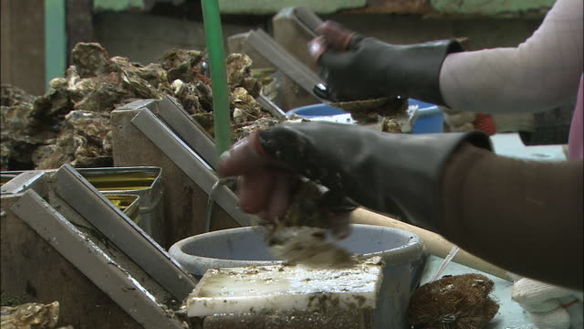 vídeos de stock e filmes b-roll de workers' gloved hands shell oysters and toss them into bowls at an oyster fishery in higashihiroshima japan. - amanhar o peixe