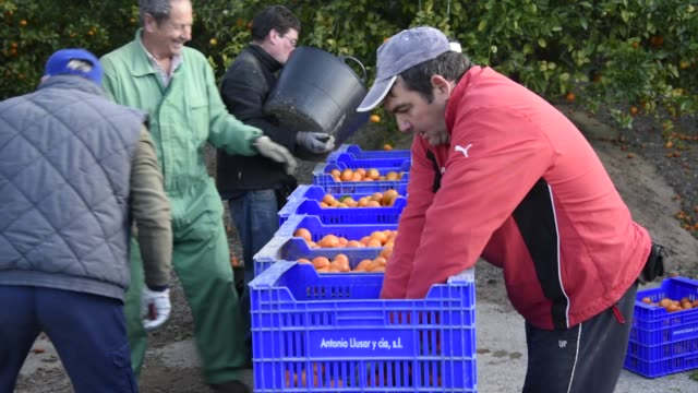 Workers hand pick ripe mandarin oranges from trees during the harvest on a farm in Pedralba Spain on Monday Feb 6 2017