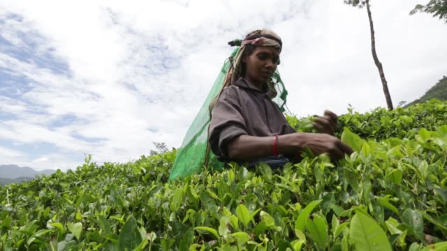 workers hand pick tea leaves on the dunkeld tea estate operated by mjf holdings ltds dilmah tea in dickoya central province sri lanka on friday july... - caffeine molecule stock videos & royalty-free footage